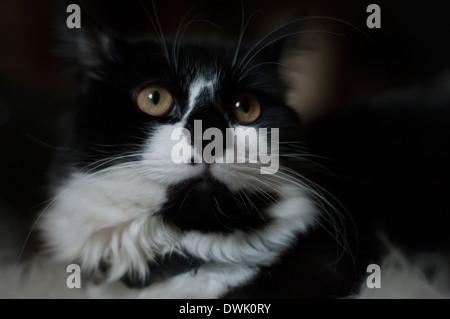 Eine schwarze und weiße Katze mit großen grünen Augen und eine vor Ort weiter, um die Nase. - Stockfoto