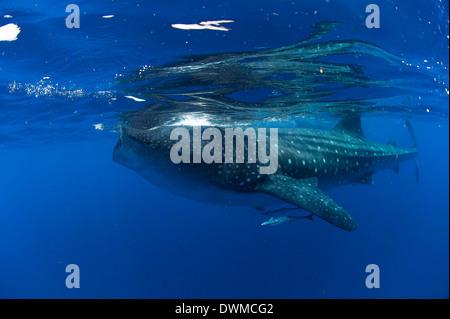 Walhai (Rhincodon Typus) und die Suckerfish (Remora) (Echeneidae), Golf von Mexiko, Mexiko, Nordamerika - Stockfoto