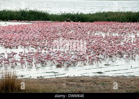 Kamfers Dam, ein wichtiges Feuchtgebiet mit Zucht Kolonie von lesser Flamingos (Phoenicopterus minor), Northern - Stockfoto
