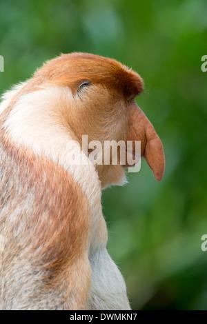Dominanten männlichen Nasenaffe (Nasalis Larvatus), Labuk Bay Proboscis Monkey Sanctuary, Sabah, Borneo, Malaysia, - Stockfoto