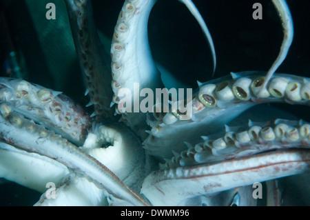 Mundhöhle (Mund) und Tentakeln von Humboldt (Jumbo) Squid (Dosidicus Gigas), Golf von Kalifornien, Baja California, - Stockfoto