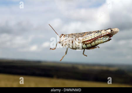 Grashüpfer springen schließen sich Insekten Makro - Stockfoto