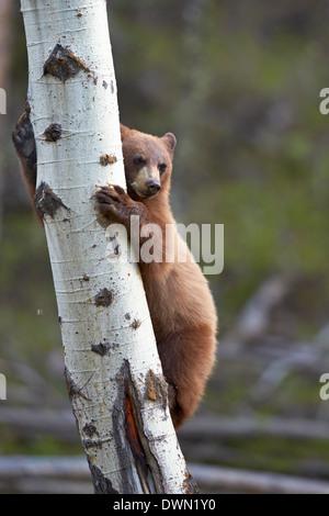 Zimt Schwarzbären (Ursus Americanus) Jährling Cub Kletterbaum, Yellowstone-Nationalpark, Wyoming - Stockfoto