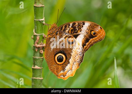 Gelb umrandeten Riesen Eule (Caligo Atreus), Gefangenschaft, Thüringen, Deutschland - Stockfoto