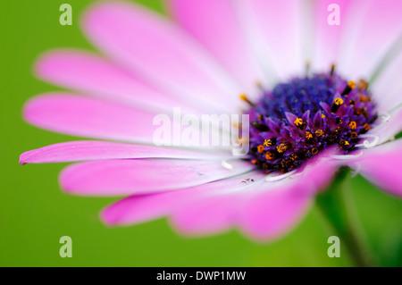 Cape Daisy, Herbers oder Cape Marguerite (Dimorphotheca Ecklonis, Osteospermum Ecklonis) - Stockfoto