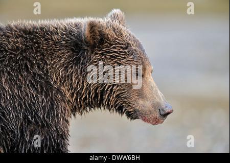 Grizzly Bär (Ursus Arctos Horribilis) Porträt. - Stockfoto