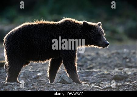 Grizzly Bär (Ursus Arctos Horribilis) gehen mit Gegenlicht bei Sonnenuntergang. - Stockfoto