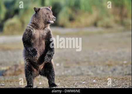 Grizzly Bear Cub (Ursus Arctos Horribilis) stehen sich umzusehen für Gefahr. - Stockfoto
