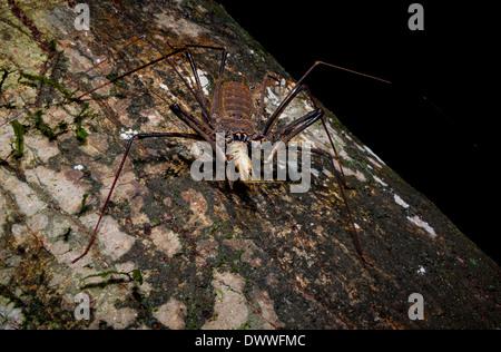 Tailless Peitsche Scorpion oder Spinne Skorpion essen eine Heuschrecke in der Nacht im Amazonas - Stockfoto