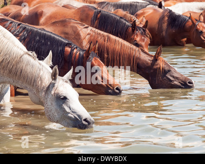 Trinken arabische Pferd im See. sonnigen Tag - Stockfoto