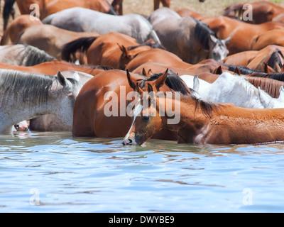 Trinken arabischen Herde im See. sonnigen Tag - Stockfoto