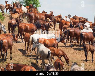 Herde von reinrassigen arabischen Stuten. sonnigen Tag - Stockfoto