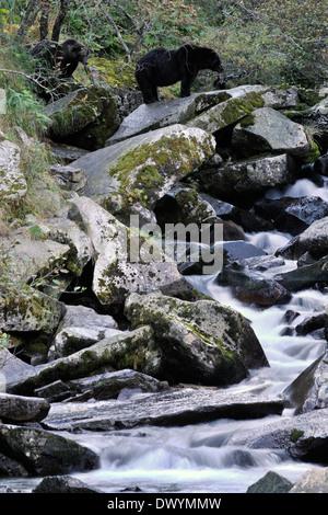Grizzly Bär (Ursus Arctos Horribilis) am Wasserfall, mit langsamen Shutterspeed. - Stockfoto