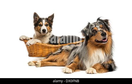 Border Collie und Australian Shepherd liegend vor weißem Hintergrund - Stockfoto