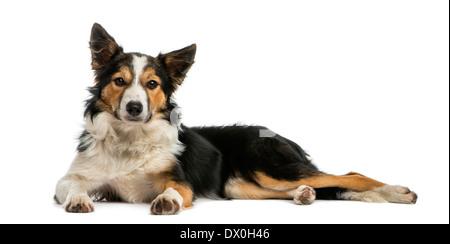 Border-Collie, liegend, schaut in die Kamera, vor weißem Hintergrund - Stockfoto