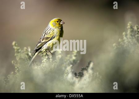Kanarienvogel - Stockfoto