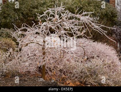 Eiszapfen an einem Baum im Winter als die Deckung beginnt zu schmelzen - Stockfoto