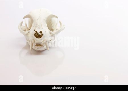 Katze Schädel auf weißem Hintergrund - Stockfoto