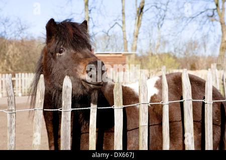 ein Shetlandpony steht am Zaun und schauen in die Kamera - Stockfoto
