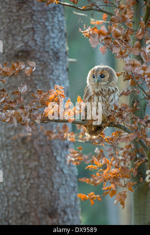 Waldkauz (Strix Aluco) hocken in einem Baum - Stockfoto