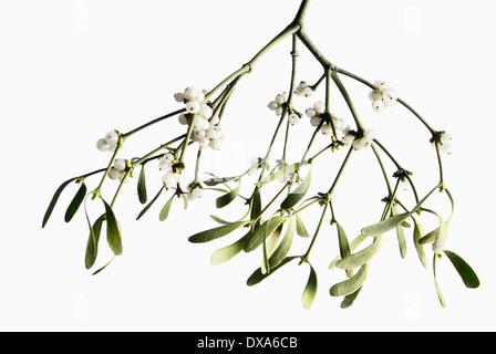 Mistel, Viscum Album, ein Bündel mit weißen Beeren vor weißem Hintergrund herabhängen. - Stockfoto
