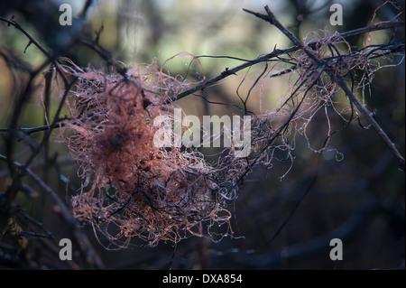 Gewirr von ausrangierten orange Nylonsaiten in nackten Bramble Zweige gefangen. - Stockfoto
