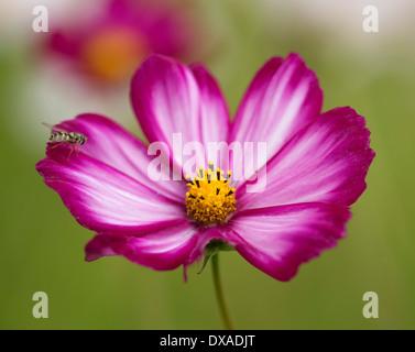 Cosmos Bipinnatus 'Candy Stripe' Blume mit einem Hoverfly thront auf sie. - Stockfoto