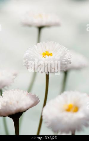 Gänseblümchen, Double, Bellis Perennis Tasso Serie. - Stockfoto