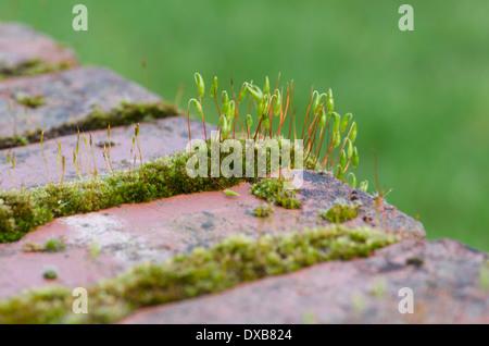 Moos zwischen Backsteinen auf einem niedrigen Cumbrian Gartenmauer - Stockfoto