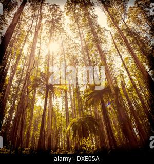 Üppigen grünen Farnen, Baumfarnen und hoch aufragenden Eberesche entlang der schwarzen Sporn, Victoria, Australien - Stockfoto