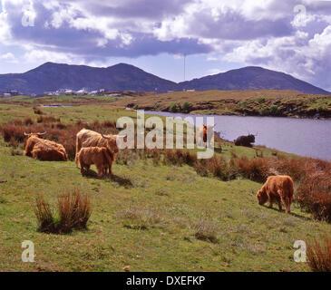 Highland-Rinder weiden nr Lochmaddy North Uist, äußeren Hebriden. - Stockfoto