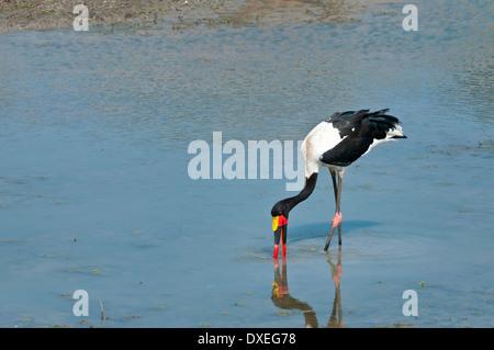 Ein Sattel – abgerechnet Storch Fütterung im Wasser mit schöne Reflexion in den Krüger Nationalpark, Südafrika - Stockfoto