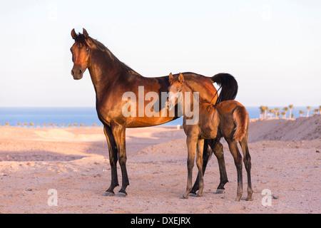 Arabisches Pferd. Stute mit Fohlen stehen in Wüste. Ägypten - Stockfoto