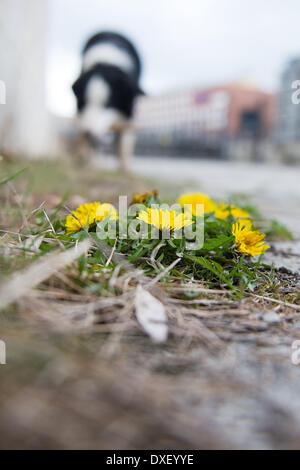 Berlin, Deutschland. 25. März 2014. Löwenzahn-Blüte am Ufer der Spree in Berlin, Deutschland, 25. März 2014. Foto: - Stockfoto