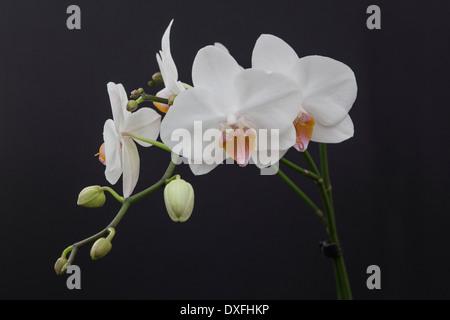 Weiße Motte Orchidee, Phalaenopsis Blume Blüte Stockfoto, Bild ...