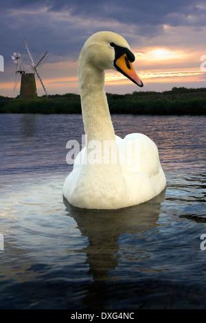 Mute Swan - Cygnus Olor - auf den Fluss Ameise auf den Norfolk Broads im Vereinigten Königreich - Stockfoto