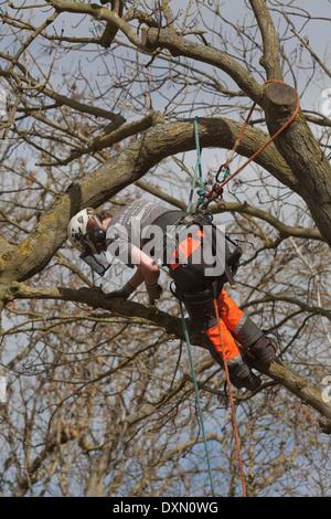 Baumpfleger, Klettern und durch Sicherheitsgurt zu anliegenden Äste und Zweige von einer Eiche (Quercus Robur) gesichert. - Stockfoto
