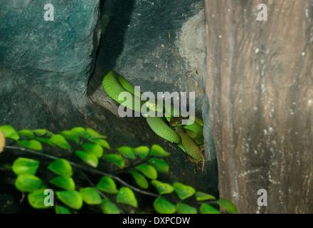 Asiatische Weisslippen Grubenotter Trimeresurus Albolabris Alias