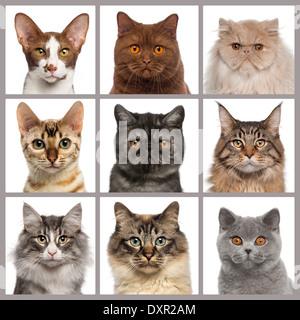 Neun Katze Köpfe schaut in die Kamera vor weißem Hintergrund - Stockfoto