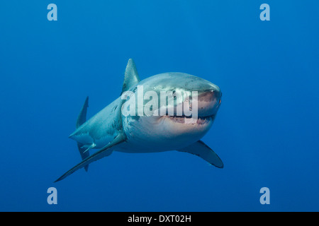 Der weiße Hai, Carcharodon Carcharias, Insel Guadalupe, Mexiko - Stockfoto