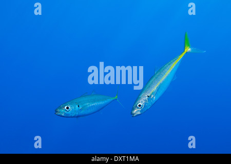 Pacific Jack Makrelen, Trachurus Symmetricus, Insel Guadalupe, Mexiko - Stockfoto