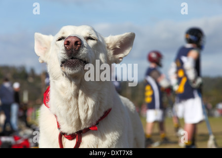 Hund scheint auf Lacrosse-Spieler jubeln - Stockfoto