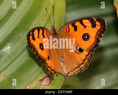 Peacock Stiefmütterchen Schmetterling (Iunonia Almana) - Stockfoto