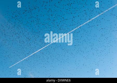 Ein Flugzeug-Kondensstreifen hoch über eine Herde von Stare - Stockfoto