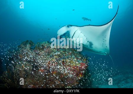 Über Cleaning Station, Manta Manta Alfredi, Raja Ampat, West Papua, Indonesien - Stockfoto