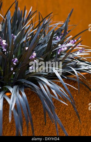 Ophiopogon Planiscapus 'Hier', Schlangen Bart. Mehrjährige Pflanze. Schwarzen Laub und lila Blüten in Metall-Container. - Stockfoto
