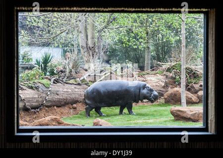 London, UK. 3. April 2014. Pygmäen Flusspferde, entdecken Sie ihr neue Zuhause in Afrika bei der ZSL London Zoo - Stockfoto