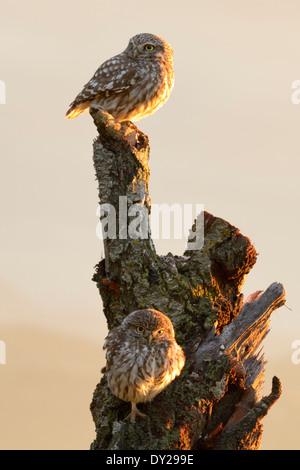 Kleine Eule auf einem alten Baum. - Stockfoto