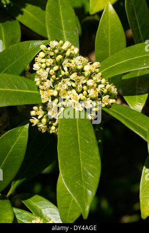 """Blütenstand von stark duftende immergrüne, Skimmia X confusa """"Kew Green"""" - Stockfoto"""
