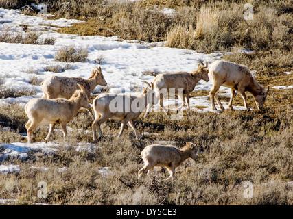 Bighorn Schafe, Schafe und Lämmer, Ovis Canadensis, in der Nähe von Jackson Hole, Wyoming, USA - Stockfoto